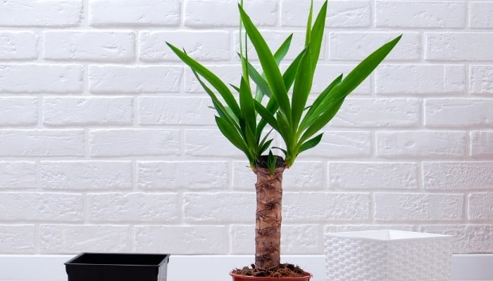A newly repotted yucca cane tree indoors in front of a white wall.
